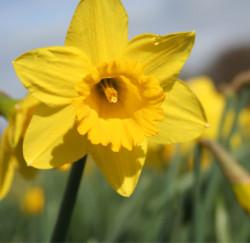 one single bright yellow daffodil head